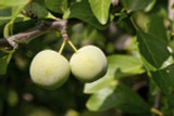 Cambridge Gage Plum Tree 4-5ft, Self-Fertile, Green Gage