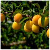 Plum 'Mirabelle de Nancy' 4-5ft Tall, Self-fertile Tree Incredibly Sweet Honey