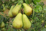 Conference Pear Tree 4-5ft Tall, Self-Fertile & Heavy Cropper, Ready to Fruit