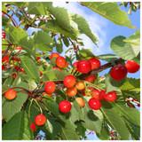 5 Wild Cherry Tree 40-60cm Stunning Blossom, Edible Cherries & Wild Bird Food