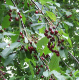 3 Bird Cherry Trees,Flowering &  Berries, 2-3ft Prunus Padus,Birds Love Them