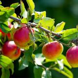 Howgate Wonder Apple Tree 4-5ft Ready to Fruit, Juicy & Sweet, Cook & Eat