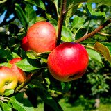 Discovery Apple Tree 4-5ft, Ready to Fruit, Crisp,Juicy, Strawberry Taste