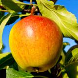 Cox's Orange Pippin Apple Tree 4-5ft, Ready to Fruit,Classic English Apple