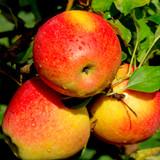 'Braeburn' Apple Tree 4-5ft,Self-Fertile,Ready to Fruit,Crisp & Aromatic