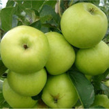 Greensleeves Apple Tree 4-5ft, Self-Fertile,Sweet,Crisp & Juicy