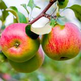 Worcester Pearmain Apple Tree 4-5ft, Ready to Fruit,Self-fertile & Sweet