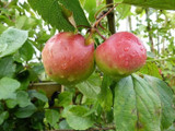 Worcester Pearmain Apple Tree 4-5ft, Ready to Fruit,Self-fertile & Sweet