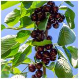 Hedelfinger Cherry Tree 3-4ft Tall, Ready to Fruit, Juicy & Sweet Dark Cherries