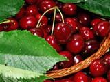 Hedelfinger Cherry Tree 4-5ft Tall, Ready to Fruit, Juicy & Sweet Dark Cherries