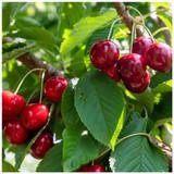'Lapins' Cherry Tree 3-4ft, Self-Fertile & Ready to Fruit, Heavy Cropper