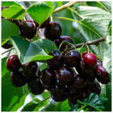 'Sunburst' Cherry Tree 3-4ft, Self-Fertile With Big Dark Cherries