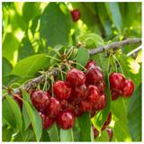 Stella Cherry Tree 3-4ft, Self-Fertile& Ready to Fruit.Dark Red,Very Tasty