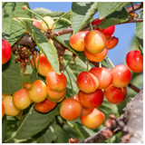 Bigarreau Napoleon Cherry Tree 3-4ft, Red-Flushed, Sweet & Juicy Cherries