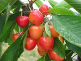 Bigarreau Napoleon Cherry Tree 4-5ft, Red-Flushed, Sweet & Juicy Cherries