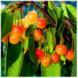 Merton Glory Cherry Tree 3-4ft Tall Large, Red-Flushed, Sweet & Juicy Cherries