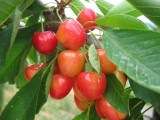Merton Glory Cherry Tree 4-5ft Tall Large, Red-Flushed, Sweet & Juicy Cherries