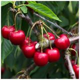Merton Premier Cherry Tree 3-4ft Tall, Large, Dark Red, Sweet & Juicy Cherries