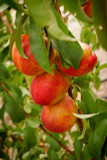 Nectarine 'Fantasia' / Prunus persica, 4-5ft tall, Frost Resistant,Large Fruit