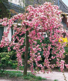 Cheal's Weeping Pink Flowering Cherry Tree 4-5ft, in a 5L Pot, P.Serrulata Kiku Shidare Zakura