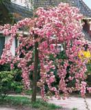 Cheal's Weeping Pink Flowering Cherry Tree 4-5ft, in a 4L Pot, P.Serrulata Kiku Shidare Zakura