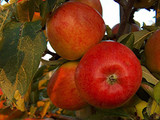 Braeburn' Apple Tree 4-5ft 6L Pot Self-Fertile,Ready to Fruit,Crisp & Aromatic