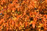 American Sweetgum (Redgum) / Liquidambar Styraciflua 40-60cm Tall