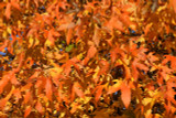 3 American Sweetgum (Redgum) / Liquidambar Styraciflua 40-60cm Tall