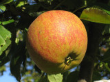 Cox's Orange Pippin Apple Tree 4-5ft,6L Pot,Ready to Fruit,Classic English Apple