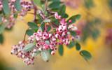 Mountain Ash Sorbus Vilmorinii / Vilmorin's rowan, 4-5ft Tall