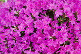 Azalea Geisha Purple, Evergreen  Rhododendron 20-30cm In 2L Pot, Compact Shrub