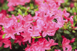 Japanese Azalea Rhododendron Anouk 15-20cm Tall in 2L Pot,Beautiful Pink Flowers