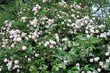 'Paul's Himalayan Musk' Rambling Rose Bush, With Double Pale Pink Flowers
