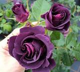 'Rhapsody in Blue' Fragrant Floribunda Rose