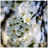 3 Wild Cherry Trees 3-4ft Stunning Blossom, Edible Cherries & Wild Bird Food