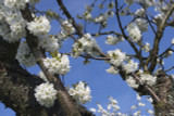5 Wild Cherry Trees 3-4ft Stunning Blossom, Edible Cherries & Wild Bird Food