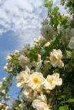 'Rambling Rector' Rambling Rose, With Clusters Of Creamy Semi-Double Flowers