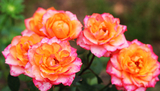 'Sheila's Perfume' Fragrant Floribunda Rose Bush Striking Bloom Yellow Edged With Red