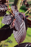 Corylus maxima 'Purpurea' / Purple-leaved Filbert, 1-2ft, Strong Hazelnut Plant