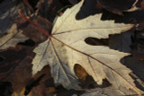 5 Acer saccharinum / Silver maple, Water Maple 60-90cm Tall, Stunning Foliage