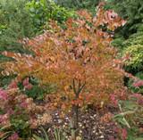 Cercidiphyllum Japonicum / Japanese Katsura Tree, 40-60cm Tall, Stunning Autumn Colours