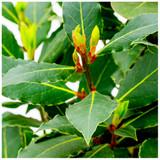 Laurus nobilis / Bay tree in 1.5L Pot, Bushy Evergreen Shrub