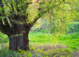 5 Salix Fragilis / Crack Willow, 4-5ft Tall, One of  Largest Native Willows