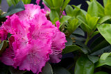 Rhododendron 'Germania' 30-40cm Tall In 5L Pot, Stunning Rose-Red Flowers