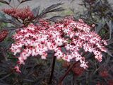 3 Purple Leaved Elder / Sambucus Nigra 'Black Lace' 25-30cm Tall in 2L Pot