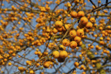Crab Apple 'Golden Hornet' / Malus 'Golden Hornet' 4-5ft Tall In 6L pot
