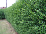 7 Green Privet Hedging Plants Ligustrum Hedge 30-40cm,Dense Evergreen,Big Pots