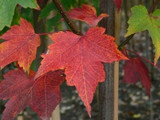 Acer rubrum 'October Glory / Maple 4-5ft Tall,  2L Pot, Stunning Autumn Colours