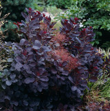 3 Cotinus Coggygria 'Royal Purple' / Smoke Tree in 2L Pots, Deep Purple Leaves