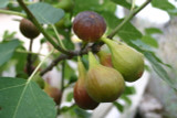 Large Fig Tree 'Brown Turkey' in a 5L Pot, Ready to Fruit, Sweet Taste
